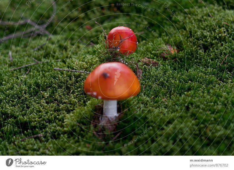 Fliegende Pilze Natur Pflanze grün weiß rot Wald Moos Wildpflanze Pilzhut Fliegenpilz