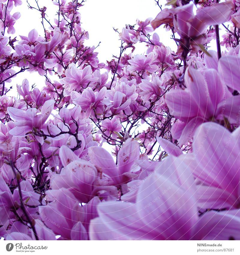rosarote Brille auf ... Magnolienbaum Frühling Physik Blüte Blütenblatt Frühlingsgefühle Gute Laune Quadrat Karlsruhe Ambiente Fröhlichkeit Flair lichtvoll weiß