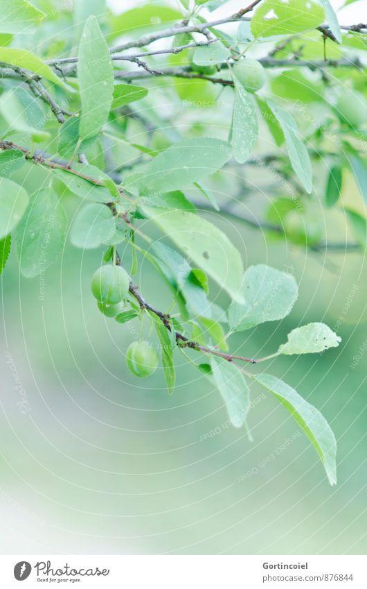 Unreif Natur grün Sommer Baum Blatt Nutzpflanze Pflaume Obstbaum Pflaumenbaum unreif