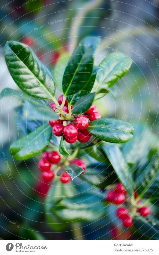 Komplementär Pflanze Winter Sträucher Blatt grün rot Beeren Beerensträucher Weihnachten & Advent Farbfoto mehrfarbig Außenaufnahme Nahaufnahme Textfreiraum oben