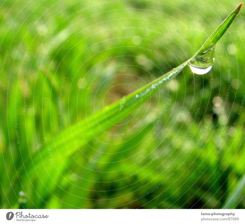 Feld der Tränen I Gras nass Halm Wiese grün Frühling Sommer Blumenwiese Landwirtschaft Ackerbau Viehweide Umwelt sommerlich saftig Pflanze Botanik Regen