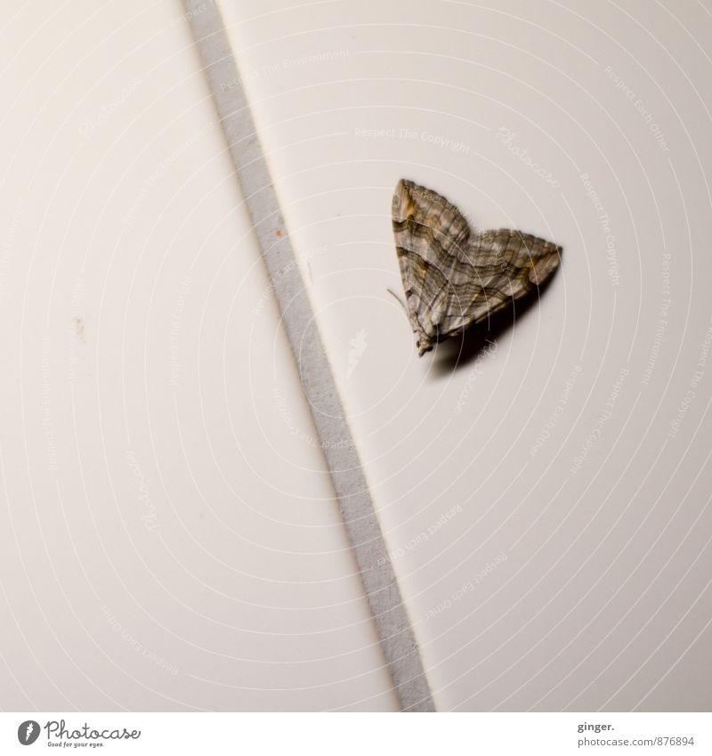 Falter an Fuge Tier Wand grau klein braun sitzen Flügel Fliesen u. Kacheln Schmetterling gefangen Fuge verirrt