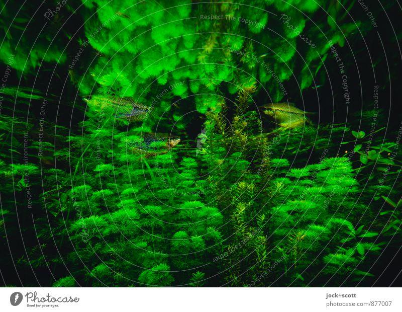 Grüne Sauce schön grün Farbe Wasser Tier Leben natürlich Schwimmen & Baden außergewöhnlich leuchten frisch paarweise einzigartig Hoffnung Kitsch Fisch