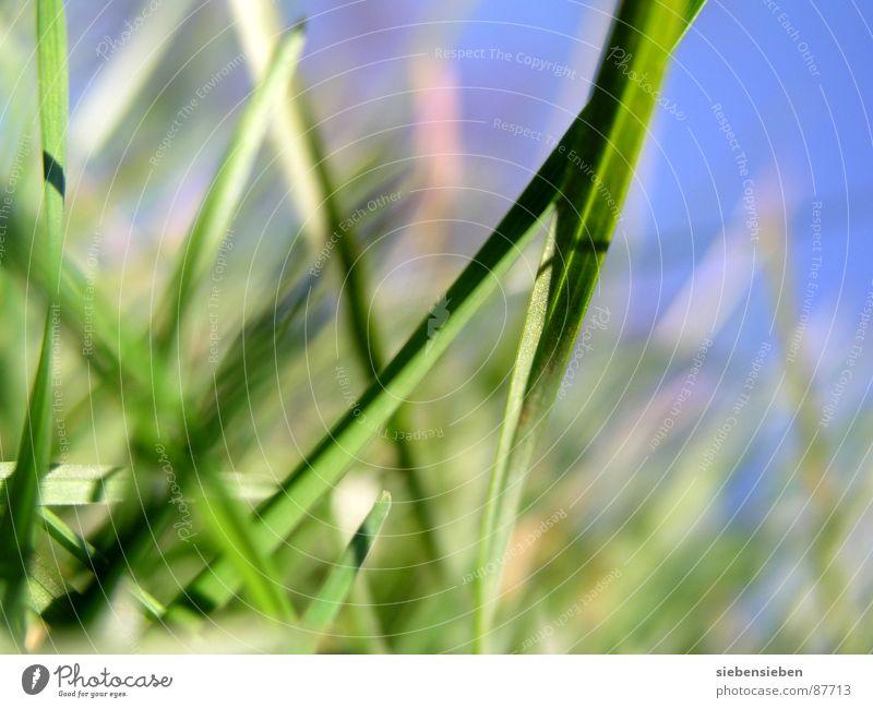 GNILHÜRF Gras grün Wachstum Wiese Halm Blühend Jahreszeiten Sommer Frühling Nahaufnahme Kraft Perspektive Naturphänomene Grasnarbe Saison Grasland Umwelt