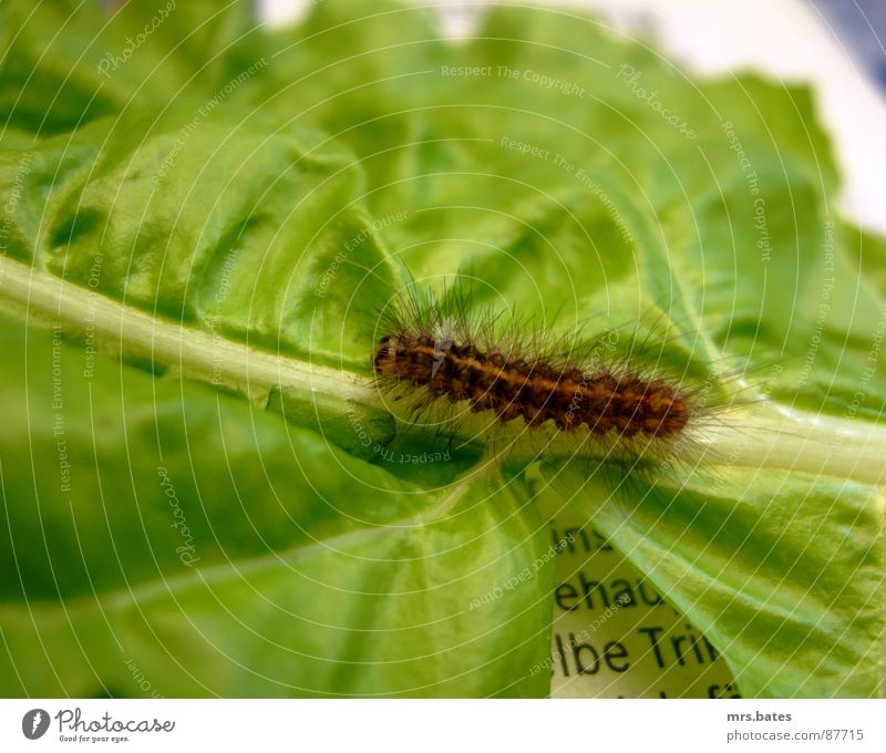 raupe Larve grün Insekt krabbeln Tier Salatblatt Stengel Zeitung Anzeigenblatt Made Raupe Natur