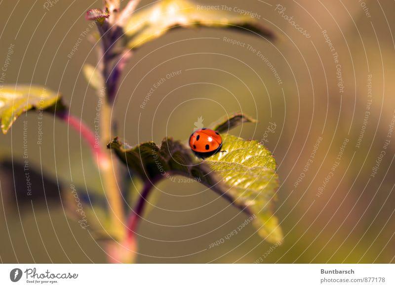 Käfertreppe Natur Pflanze grün Sommer rot Blatt Tier schwarz klein Sträucher Schönes Wetter niedlich Punkt Insekt krabbeln