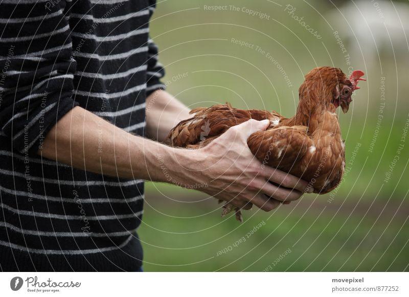 Hühner Hypnose Landwirt Landwirtschaft Forstwirtschaft Hand 1 Mensch Nutztier Haushuhn Tier berühren Tierliebe Angst bedrohlich Hühnerhaltung Farbfoto