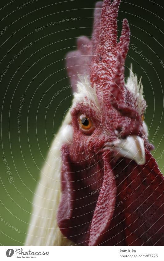 kikuyu rot Tier Haare & Frisuren Vogel Afrika Bauernhof Schnabel Hahn Kamm