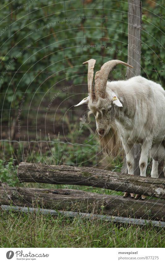 Wo ist der Ziegenpeter? Einsamkeit Tier stehen Weide Fell Nutztier Ziegen Tierhaltung Bundesland Burgenland