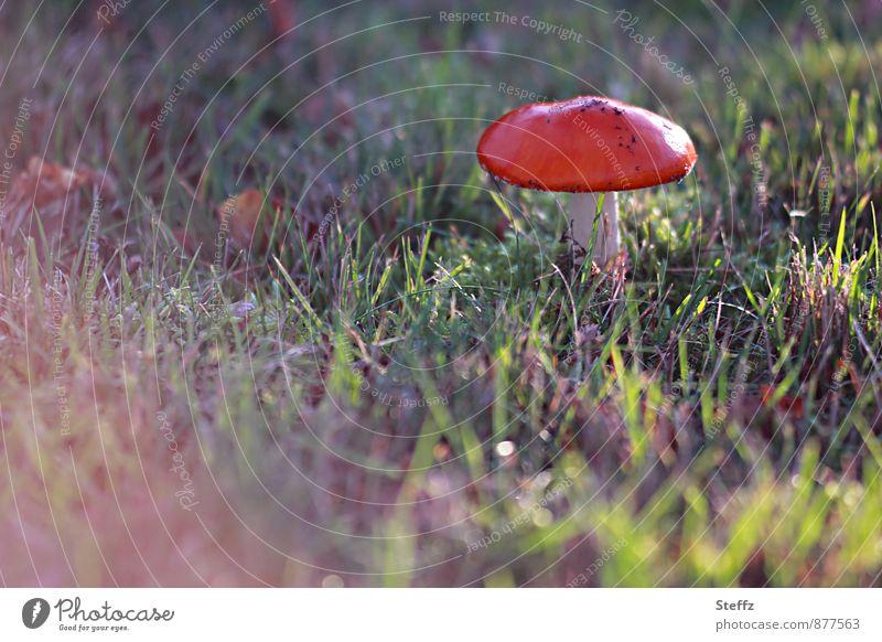 Fliegenpilz gefunden Pilz Pilzhut Herbstwiese rot Herbstfärbung Lichtstimmung Stimmung Lichtschein Lichteinfall Gift herbstlich Herbstwetter Nachmittagssonne