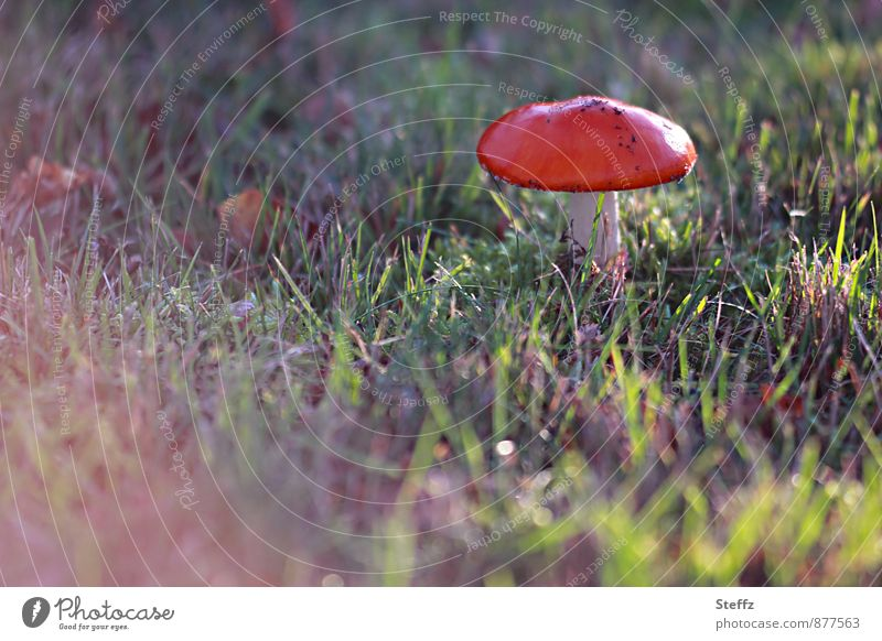Fliegenpilz im November Pilz Pilzhut Herbstwiese rot Herbstfärbung Lichtstimmung Lichtschimmer Lichtschein Lichteinfall Gift Amanita muscaria herbstlich
