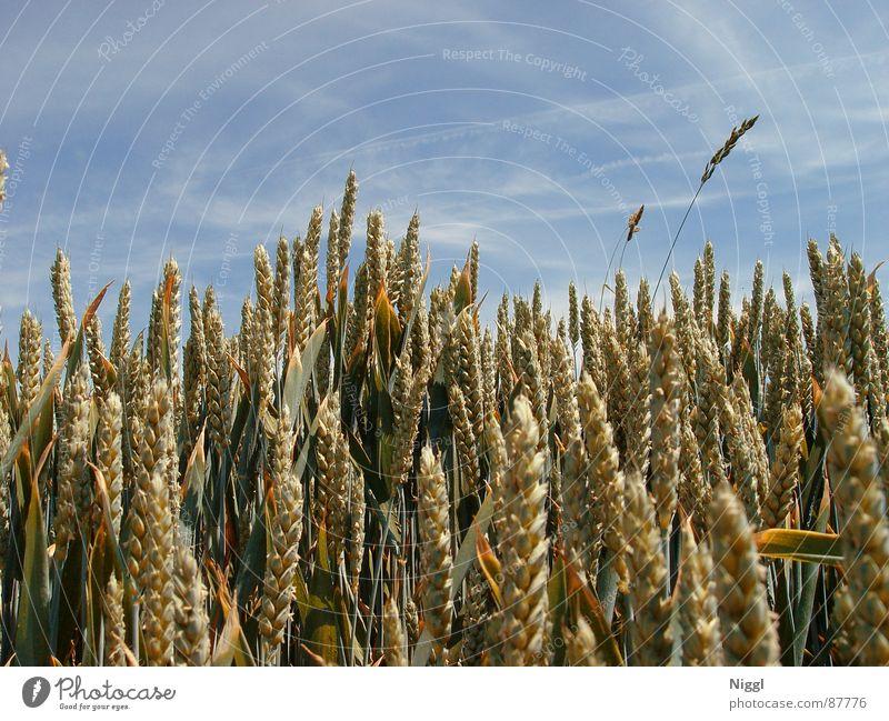 Getreide II Feldfrüchte Weizen Ähren Mehl Samen Landwirtschaft Silo Bauernhof Pflanzer niggl Himmel Dachboden