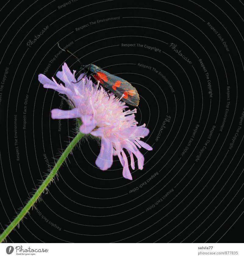 Widderchen Natur Pflanze schön Sommer rot Blume ruhig Tier schwarz Umwelt Liebe Blüte Frühling klein Glück sitzen