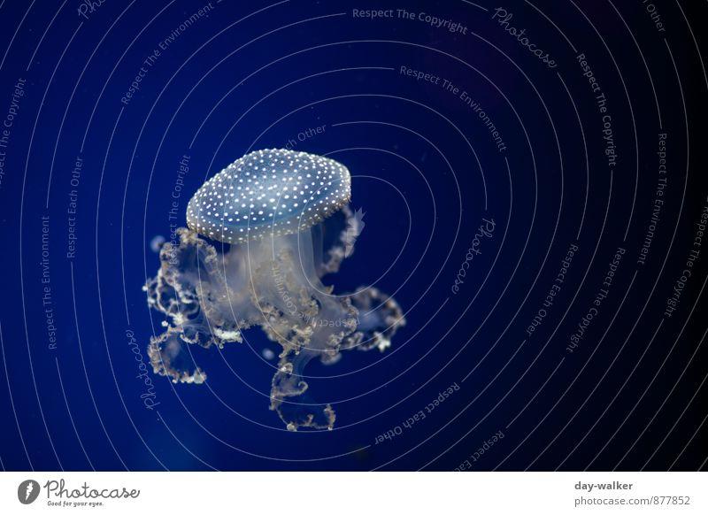 Blauer Fliegenpilz Tier Qualle 1 kalt weich blau weiß Tentakel Im Wasser treiben Farbfoto Unterwasseraufnahme Menschenleer Kunstlicht Licht Schatten Kontrast