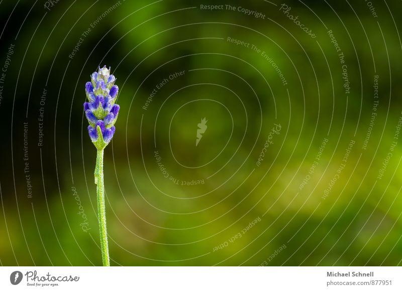 Lavendel Natur Pflanze schön grün Einsamkeit Umwelt Blüte Gesundheit Garten frisch einfach Warmherzigkeit violett lang Duft Mut