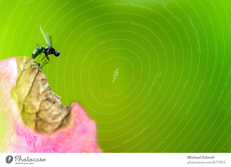 Abflug Pflanze Tier Blüte Hortensie Fliege Insekt 1 fliegen klein Neugier grün rosa Mut Flugzeugstart losfliegen Abheben zart Farbfoto Makroaufnahme