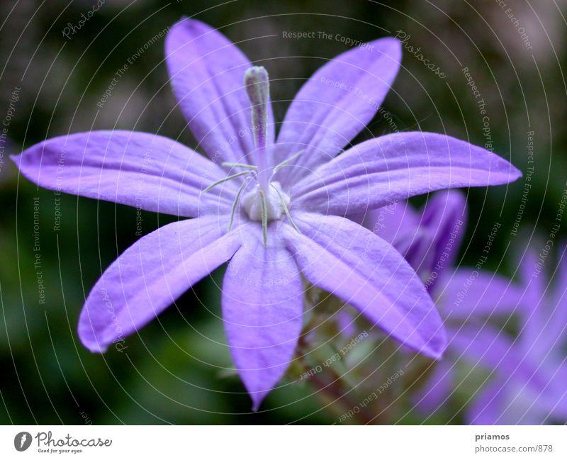 Lila Blume violett nah Blüte Makroaufnahme