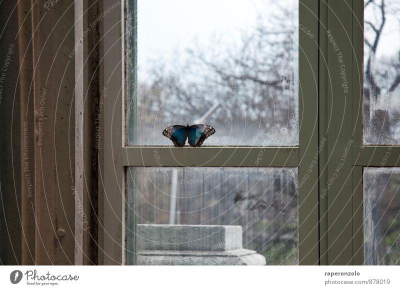 Ich bin ein Morpho-Falter, holt mich hier raus blau schön Einsamkeit Tier Fenster Traurigkeit grau Fliege sitzen Aussicht Romantik Innerhalb (Position) Sehnsucht Barriere türkis Fernweh