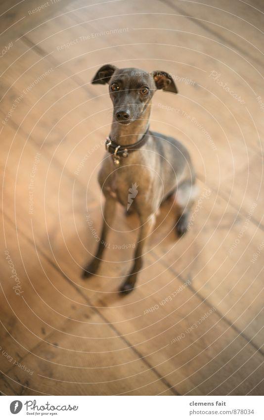 Ja - Nein - Vielleicht Hund Hundeblick Blick Blick in die Kamera Auge Kontakt Wunsch Pfote flehend Fragen Hundehalsband Holzfußboden Dielenboden Fell Windhund