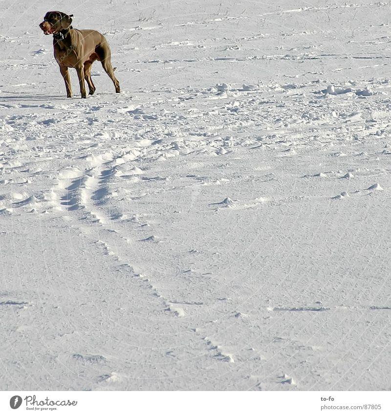 wow Winter Tier Schnee beobachten stark Jagd Wachsamkeit Säugetier zurück Nervosität fixieren