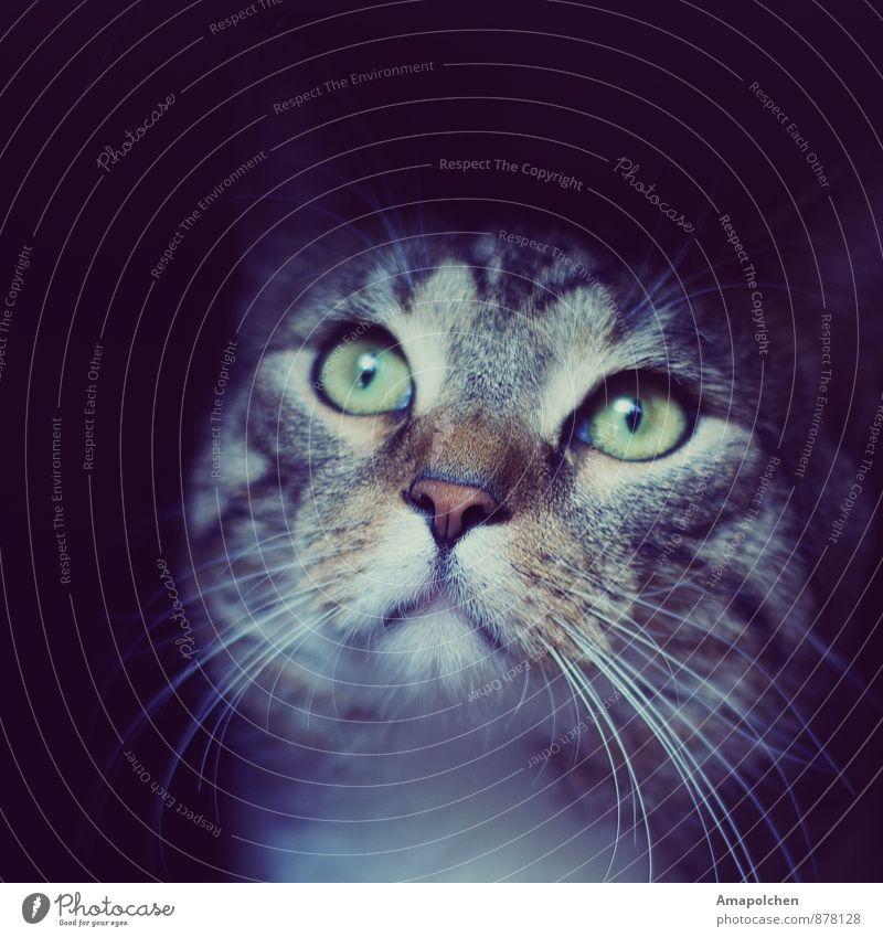 ::14-35:: (100) Katze Tier Wohnung beobachten niedlich Neugier Jagd Haustier Tiergesicht Quadrat Hauskatze füttern Futter Schnauze Schnurrhaar Landraubtier