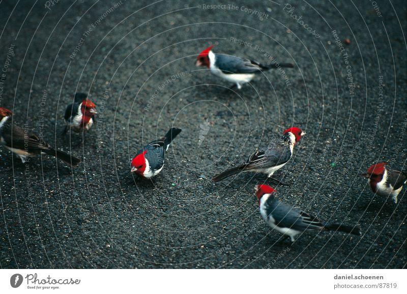 rote Köpfe - keine EBV !! Vogel Tier schwarz Hawaii fremdartig USA exotisch Feder