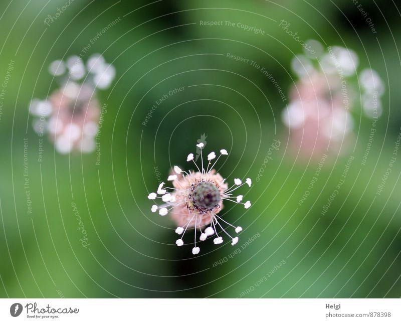 Blümchen für UlrikeA... Umwelt Natur Pflanze Sommer Blume Blüte Wildpflanze Spitzwegerich Wiese Blühend Wachstum ästhetisch schön einzigartig klein natürlich