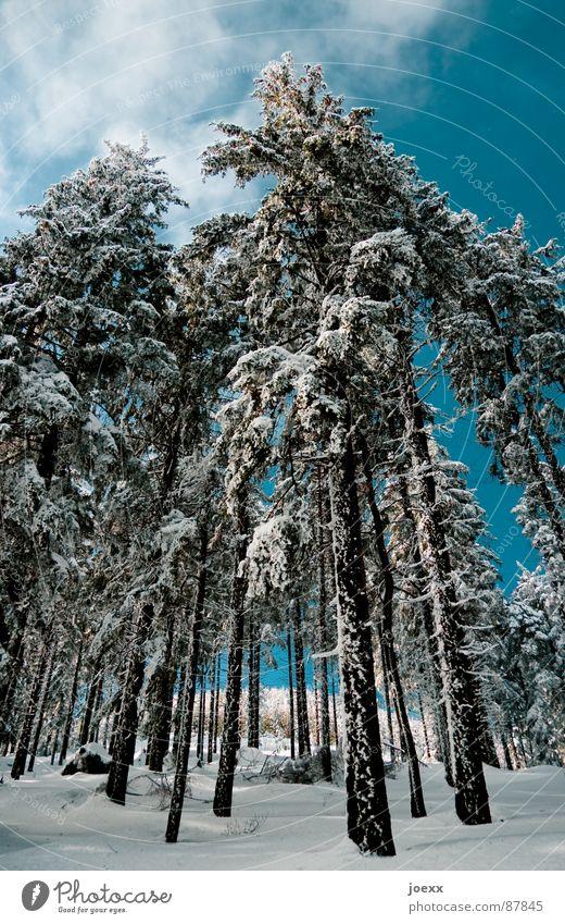Stelzen Natur Himmel Winter Wolken Wald kalt Schnee Umwelt Perspektive Frost dünn Ast lang Tanne Baumstamm Baumrinde