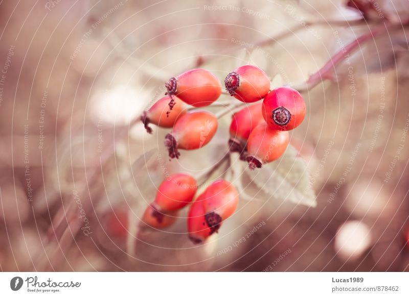 Hagebutte rot Wald Frucht lecker Tee Wildpflanze Hagebutten