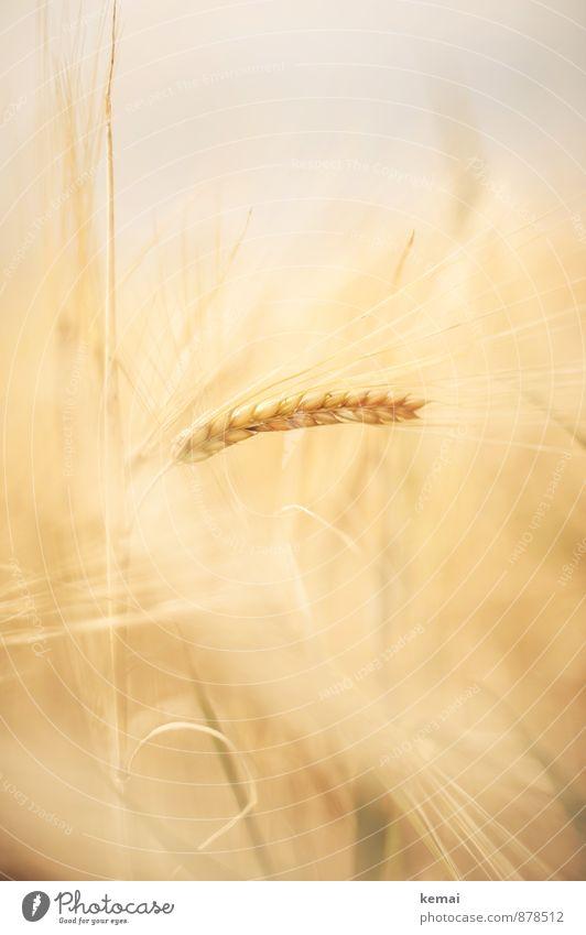 Sanft eingebettet Natur Pflanze schön Sommer ruhig Umwelt Wärme Gesundheit hell Feld Wachstum frisch Schönes Wetter Freundlichkeit Landwirtschaft zart