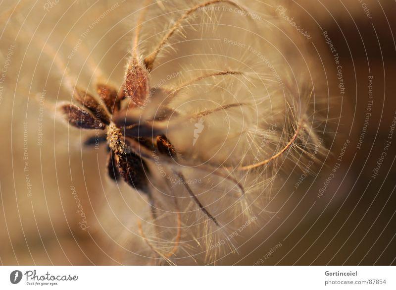 Die Wuschelblüte II Pflanze Blüte braun gold Stern (Symbol) weich zart Samen sanft Blütenknospen beige Ranke verblüht Faser filigran welk