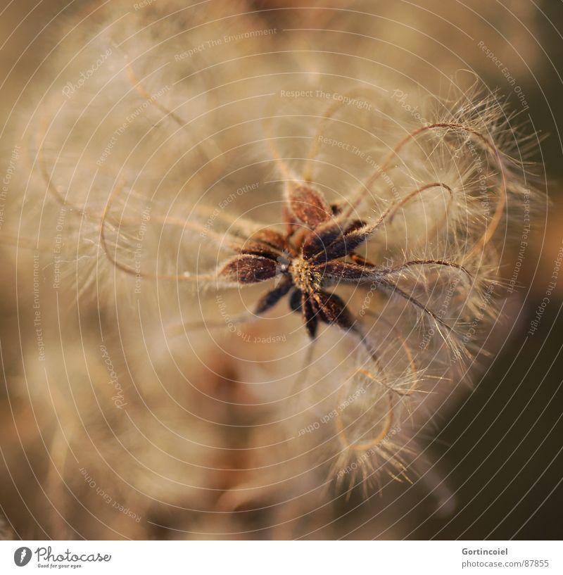Die Wuschelblüte III Pflanze Blüte Wildpflanze verblüht weich braun gold Flaum Faser zerzaust beige welk Stern (Symbol) sanft zart Waldrebe Clematis