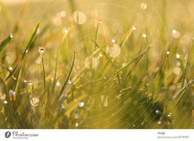 Feuchtigkeit | Tautropfen Umwelt Pflanze Wassertropfen Sommer Gras Wiese glänzend leuchten Wachstum ästhetisch außergewöhnlich frisch kalt klein nass gelb grün