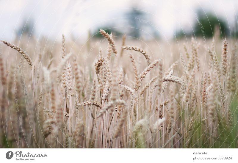Kornfeld Natur Herbst Pflanze Gras Feld Umwelt Getreide Getreidefeld Landwirtschaft Ähren Feldfrüchte Weizenfeld braun Schwache Tiefenschärfe Ernte