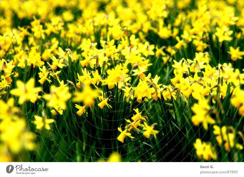 flashy Beleuchtung Blumenstrauß verrückt gelb typisch scheinend Tiefenschärfe prächtig beeindruckend knallig durchdringend Gelbe Narzisse Pflanze grün
