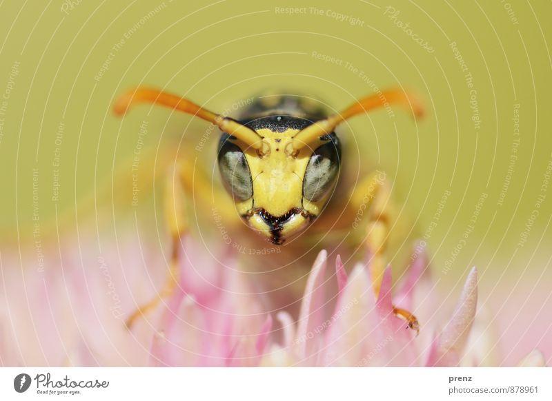 Blick Umwelt Natur Pflanze Tier Sommer Schönes Wetter gelb rosa Wespen Biene Blüte Insekt Makroaufnahme Farbfoto Außenaufnahme Nahaufnahme Menschenleer