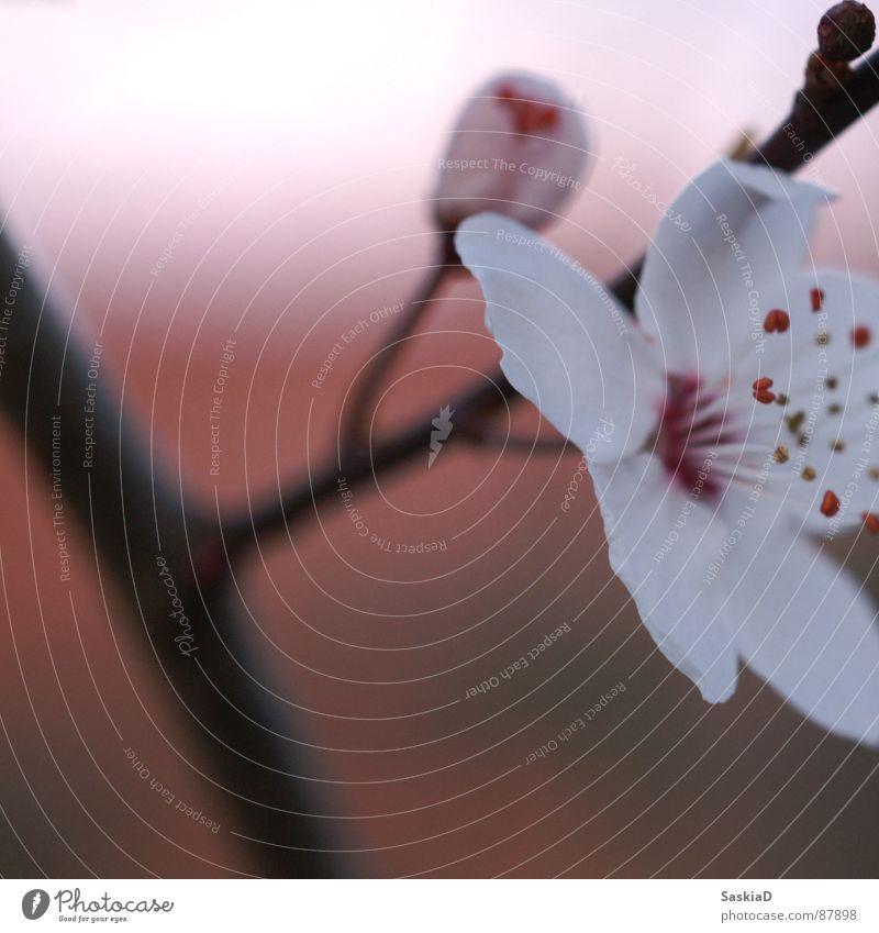 Frühlingsblüte Blüte Blume Abenddämmerung ruhig Wellness Pflanze Makroaufnahme Nahaufnahme schön Natur