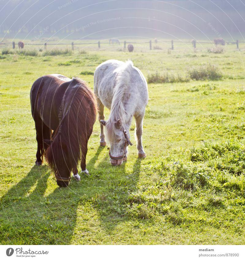 Das Leben ist ein Ponyhof Landschaft Tier Liebe natürlich Freundschaft Feld Tierpaar Tiergruppe Landwirtschaft Weide Pferd Bauernhof harmonisch Fressen ländlich