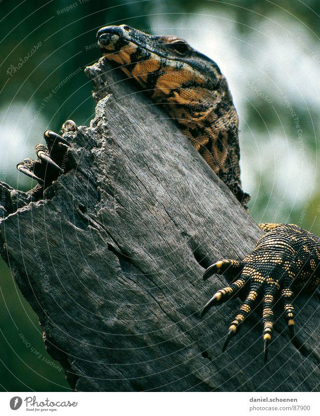 Fingernagelverlängerung auf australisch Echsen Reptil Nagel Australien Tier Fraser Island Krallen Drache Haut urzeitlich Außenaufnahme