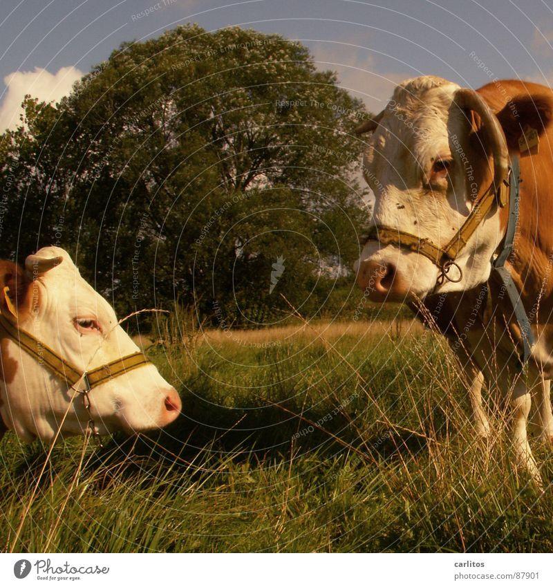 eine Kuh macht muh .... grün Sommer Wiese Gras Glück fliegen Ernährung Dorf Weide Horn Rind Blut Säugetier anstrengen Landwirtschaft