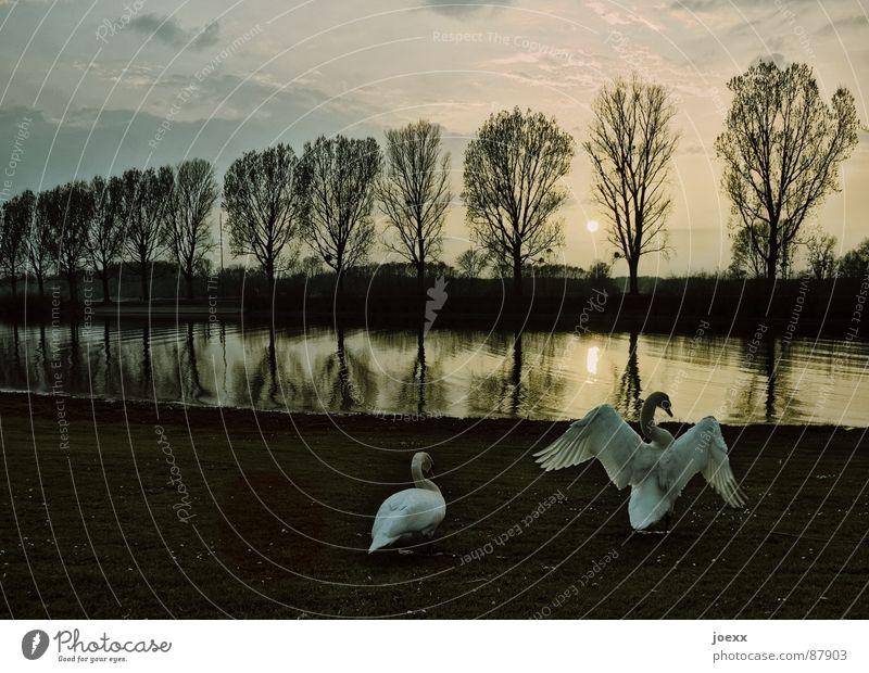 Wichtigtuer Himmel Natur Wasser Erholung ruhig Wolken Tier Liebe See Vogel Tierpaar paarweise Fluss Abenddämmerung Allee Schwan