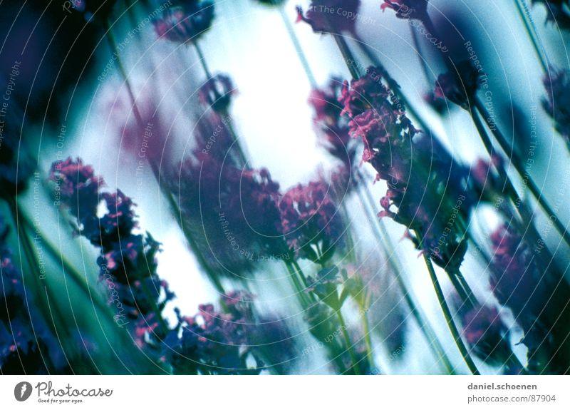 das Parfüm Lavendel violett hell-blau grün Blüte Parfum Süden Provence Frankreich Sommer purpur blau-rot pflanzlich Pflanze Duft Wärme warme Jahreszeit