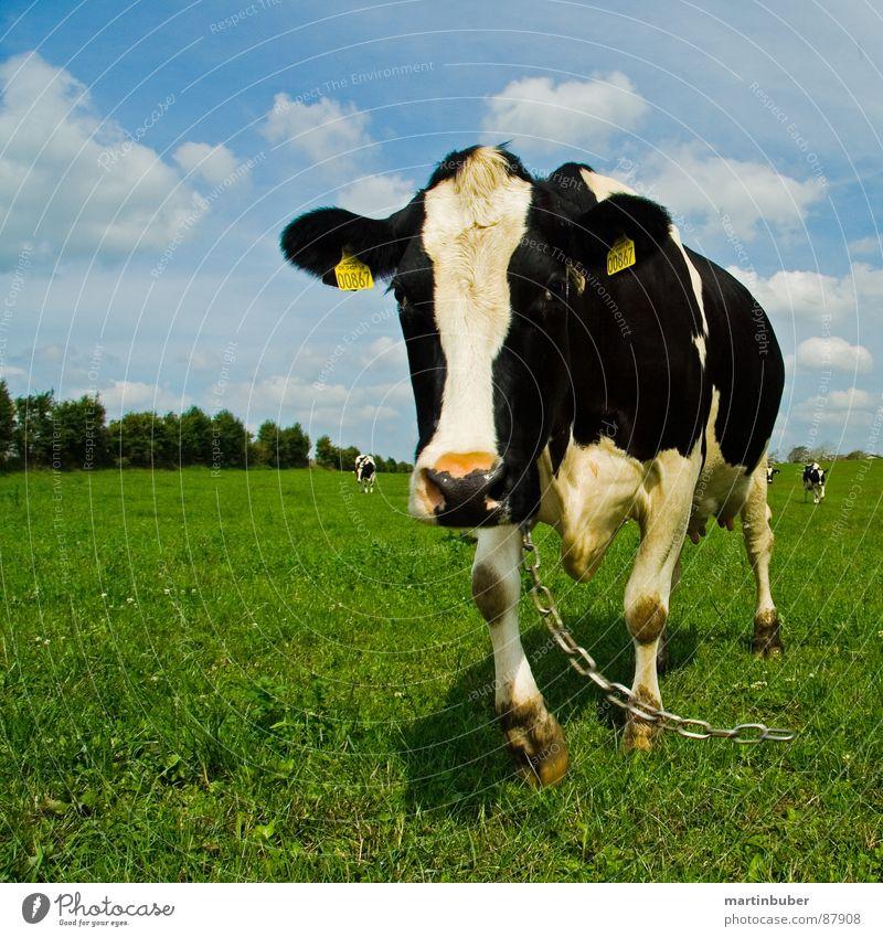 leinenpflicht Himmel blau weiß schwarz Wiese frei Kuh Kette Alm Tier Schwarzweißfoto Milcherzeugnisse muhen angekettet
