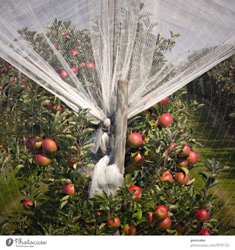 cox und spitzenhäubchen Natur Baum rot Herbst Lebensmittel Wachstum Zukunft Sicherheit Netz Ernte Apfel Duft nachhaltig Reichtum Gardine Sinnesorgane