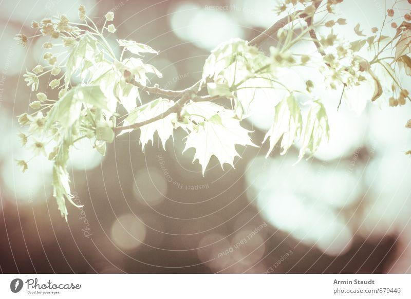 Ahornblätter im Gegenlicht Sommer Natur Pflanze Luft Sonnenlicht Frühling Schönes Wetter Blatt Wald Wachstum ästhetisch authentisch hell retro Gefühle Stimmung