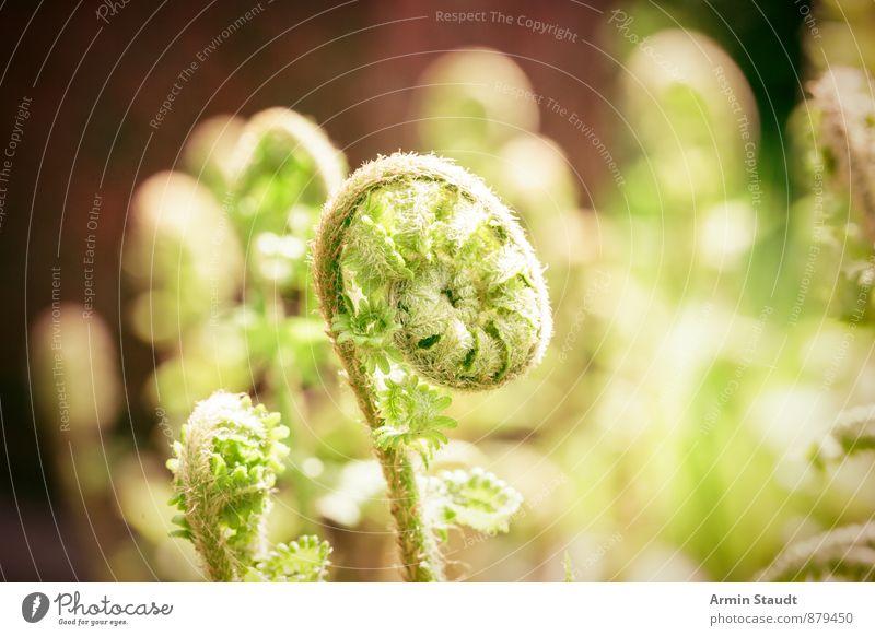 Eingerollte Farnsprosse Natur Pflanze schön grün Umwelt Leben Gefühle Wiese Frühling natürlich Garten Stimmung Park Wachstum Kraft authentisch
