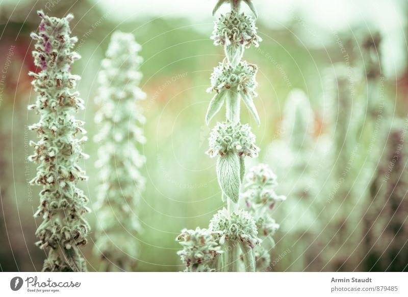 Pflanzen Natur Frühling Sommer Grünpflanze Kräuter & Gewürze Garten Park Wiese Feld Wachstum ästhetisch authentisch natürlich schön grün Stimmung
