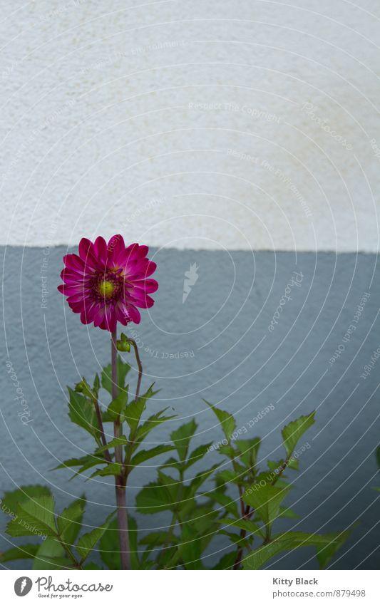 Gartenblümchen Natur Blume Halbturn Menschenleer Beton blau grün rosa weiß Bundesland Burgenland Außenaufnahme Textfreiraum oben Tag