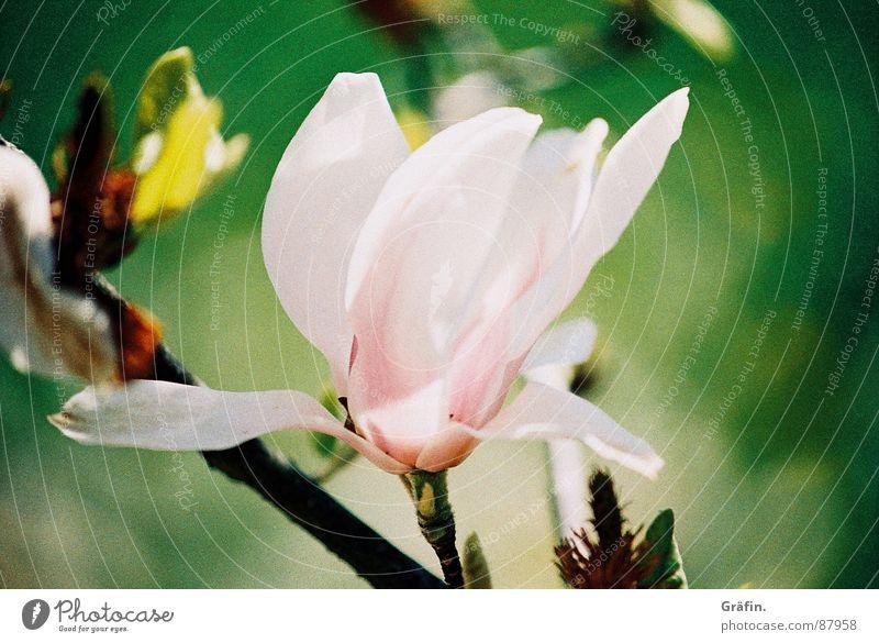Frühling lässt sein rosa Band... lau Magnoliengewächse Blüte Tulpe grün Blütenblatt Zoomeffekt zart Blütenstiel sensibel Stengel Blütenstempel zerbrechlich