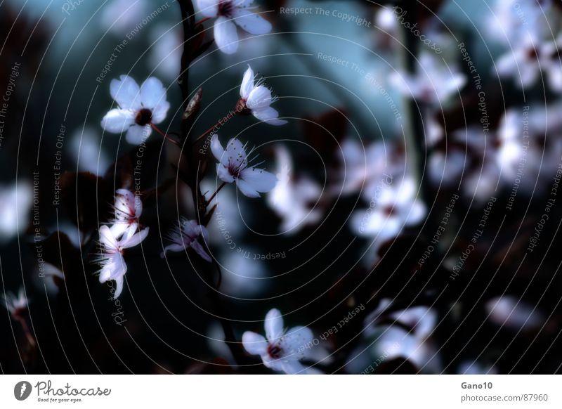 Kirschentraum Blüte Frühling rosa Blühend Kirschblüten